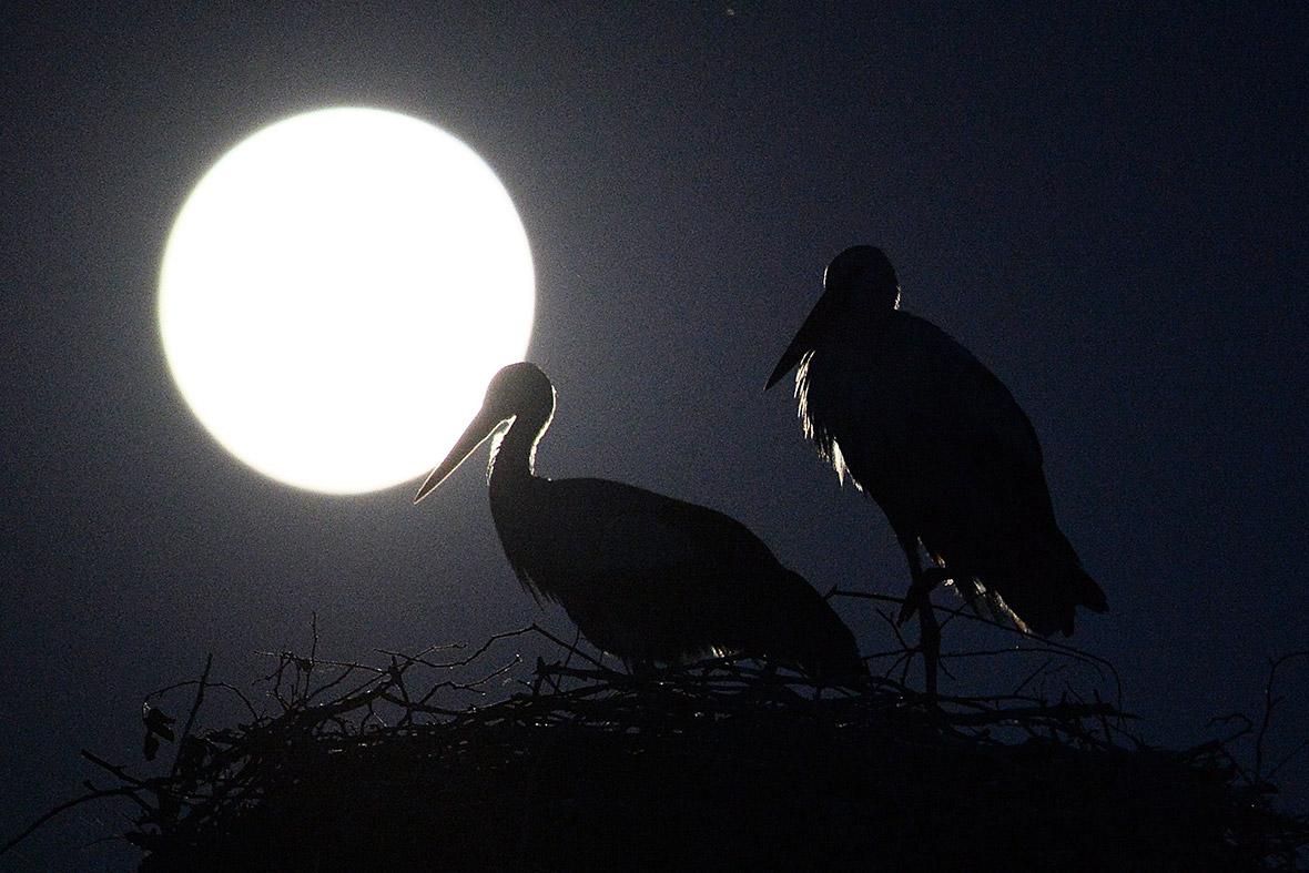 full moon storks