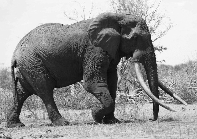 World's Largest Elephant Killed with Poison-soaked Arrows by Poachers in Kenya