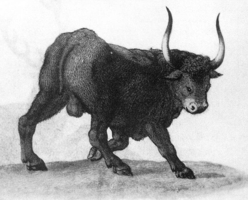 Auroch