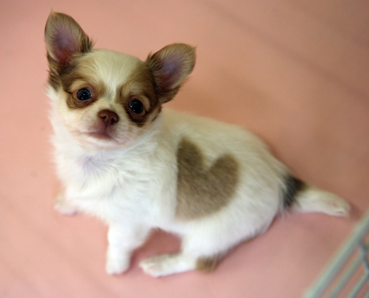 Who me? Chihuahuas have the biggest appetite for destruction of all dog breeds