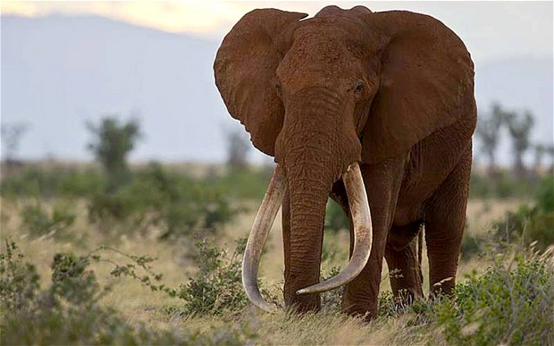 Satao killed in ivory poaching attack in Kenya