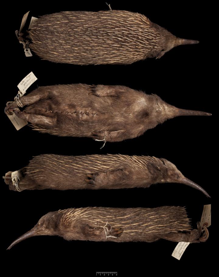 long-beaked echidna