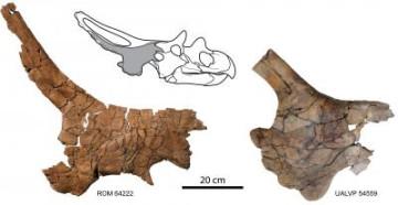 Mercuriceratops Gemini skull