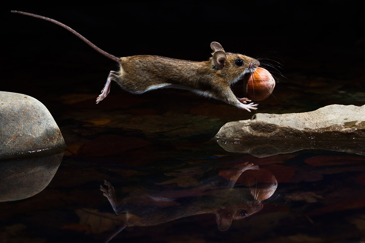 Yellow-necked mouse, Carsten Braun Germany