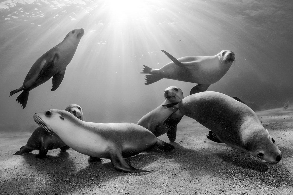Australian sea lion pups, Michael Patrick ONeill United States