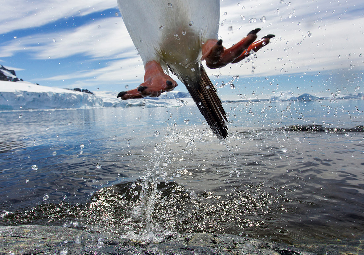 Leaping gentoo penguin, Paul Souders United States