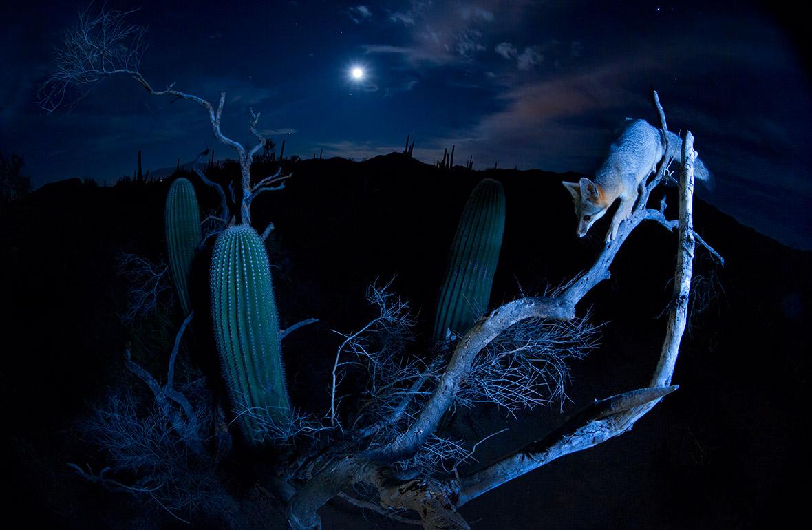 Moonlight climber, Alexander Badyaev United States