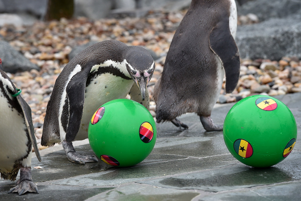 world cup penguin