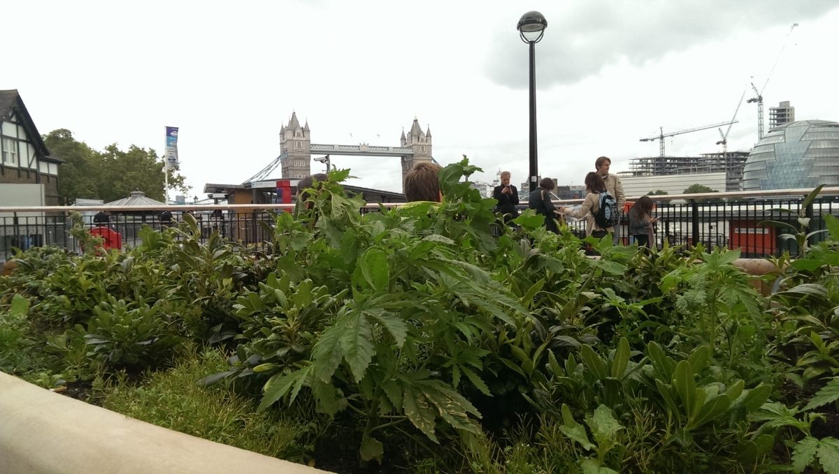 Cannabis plants spotted near Tower of London