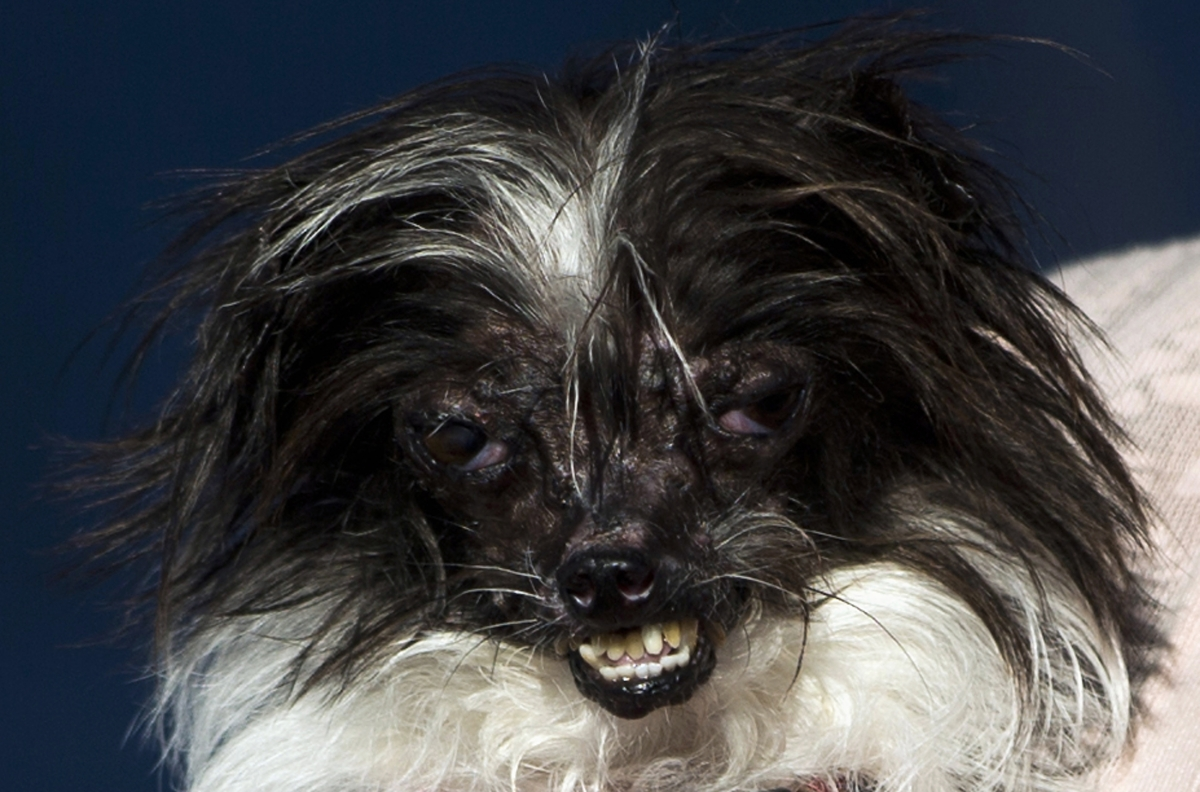 World S Ugliest Dog Revealed Meet Peanut A Chihuahua