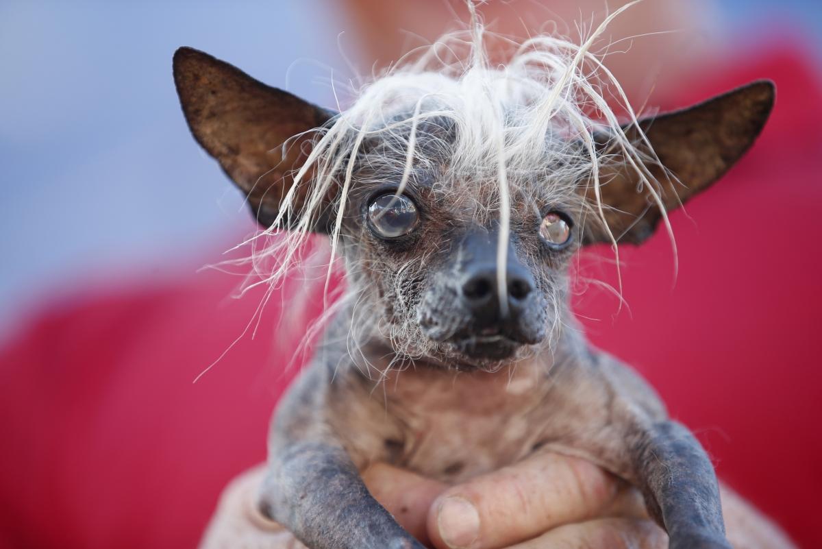 Worlds Ugliest Dog Revealed Meet Peanut A Chihuahua Shih Tzu Mix