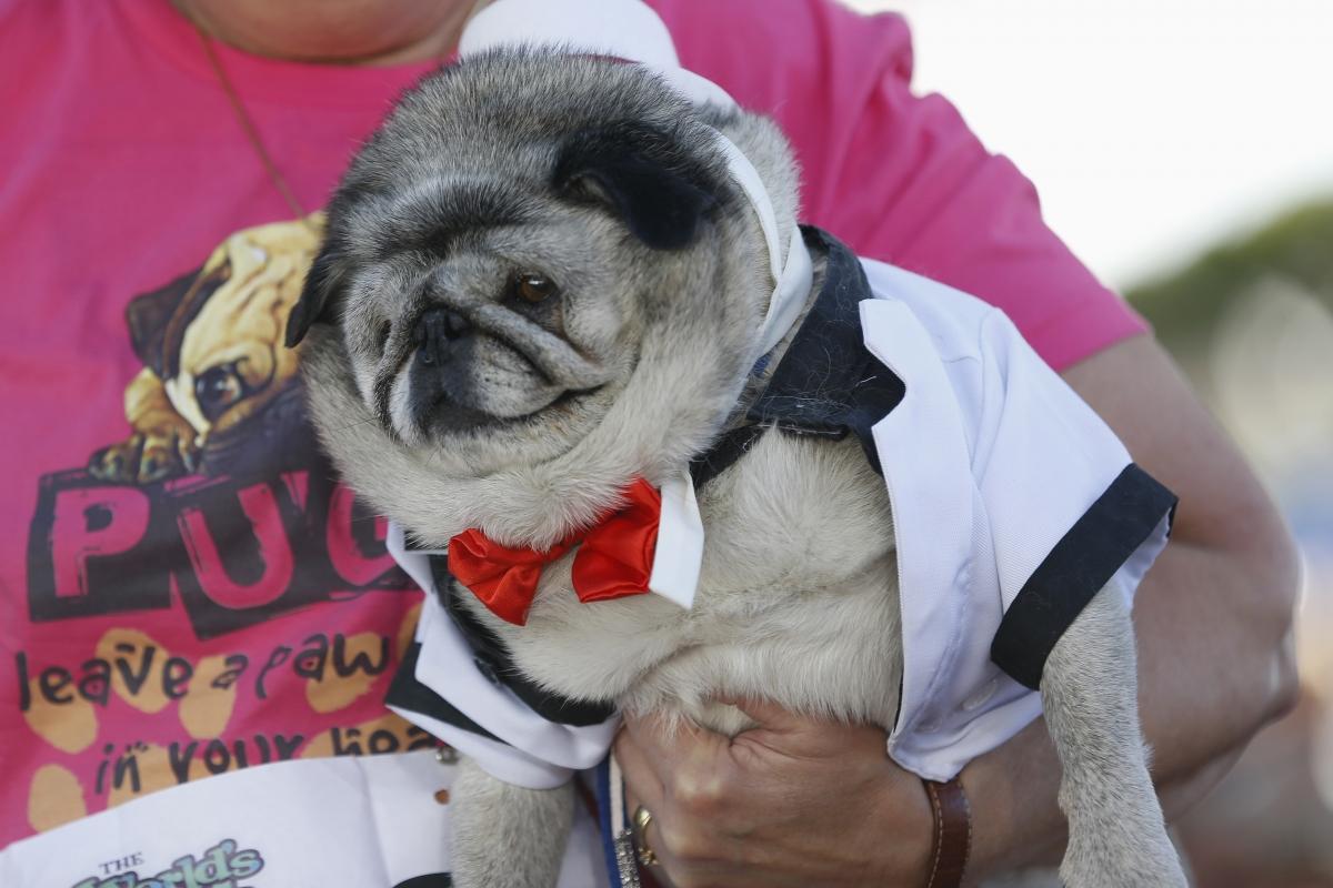 World's Ugliest Dog: Meet Peanut,a Chihuahua-Shih Tzu Mix who Won the Contest