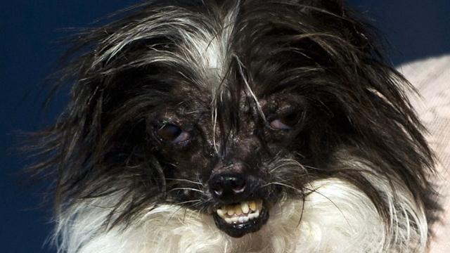 Dog Named 'Peanut' Wins World's Ugliest Dog Contest