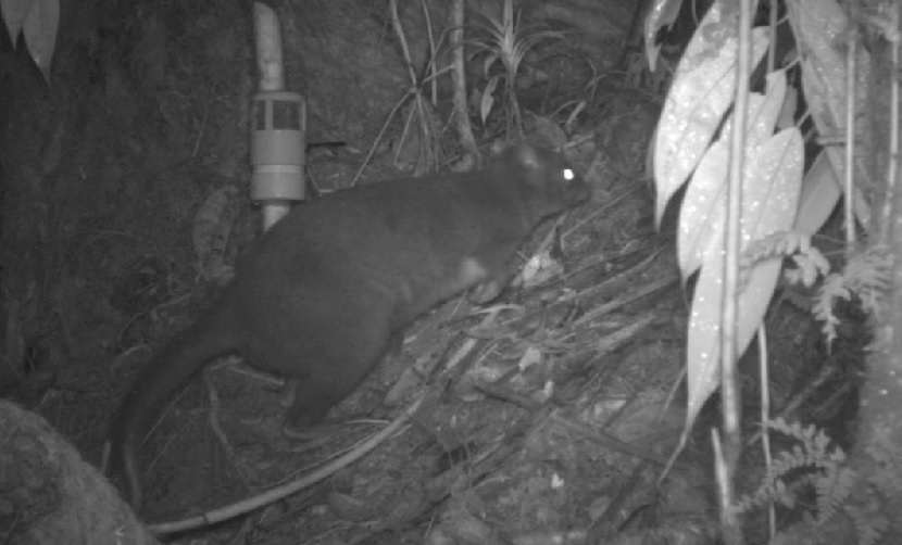 cat sized 39 docopsulus wallaby 39 discovered in first ever crowdfunded science expedition. Black Bedroom Furniture Sets. Home Design Ideas