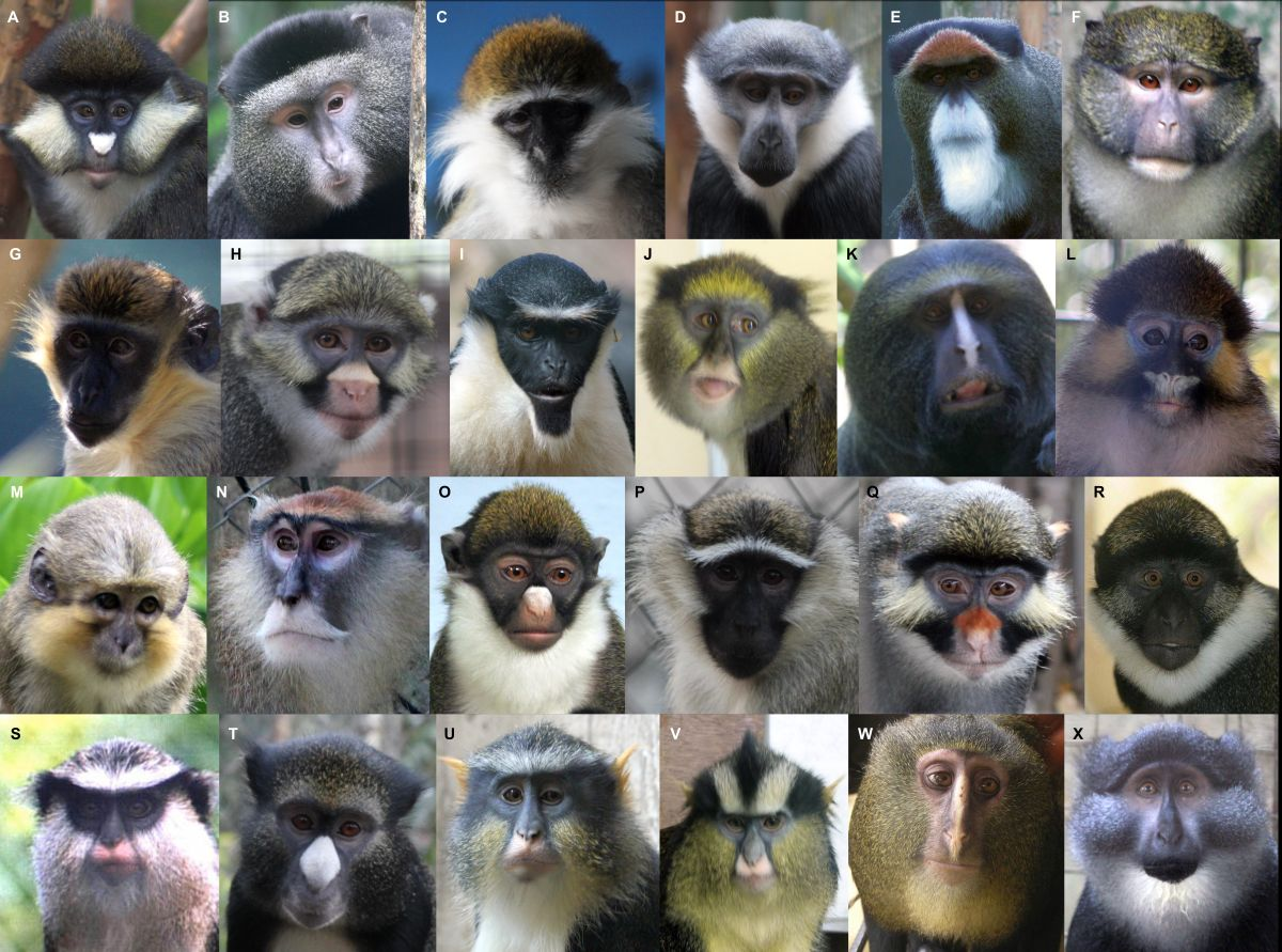 Guenon Monkeys' Crazy Faces Evolved to Stop Incest