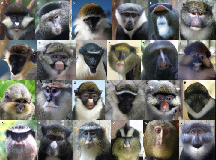 Monkey faces