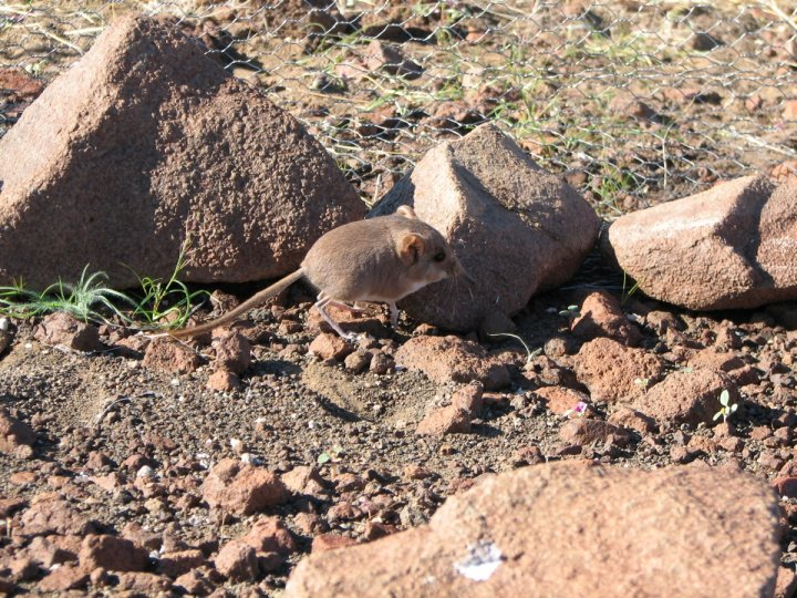 Rare Mouse Resembling Miniature Elephant Discovered in African Desert