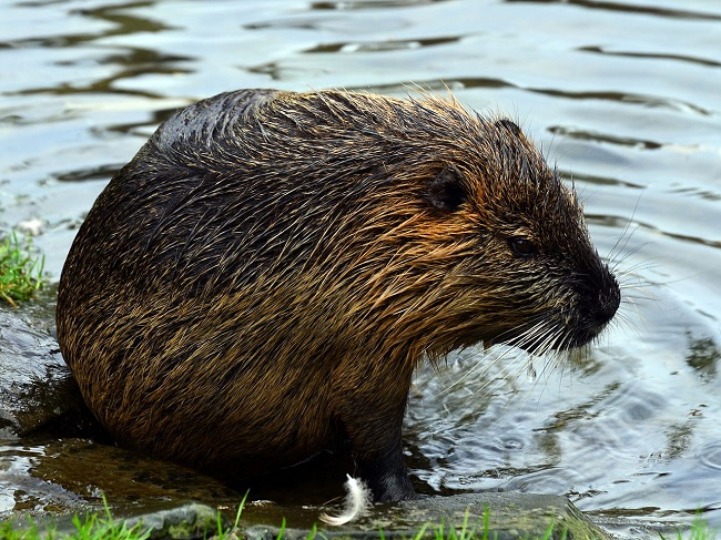 Beavers could be captured and put in a zoo by the government over disease fears