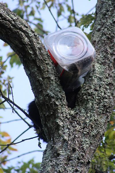 bear in a tree