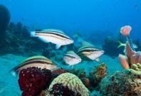 Caribbean Coral Reefs parrot fish