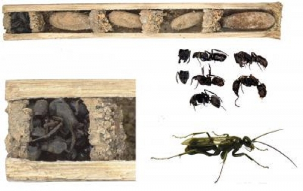 bone house wasp