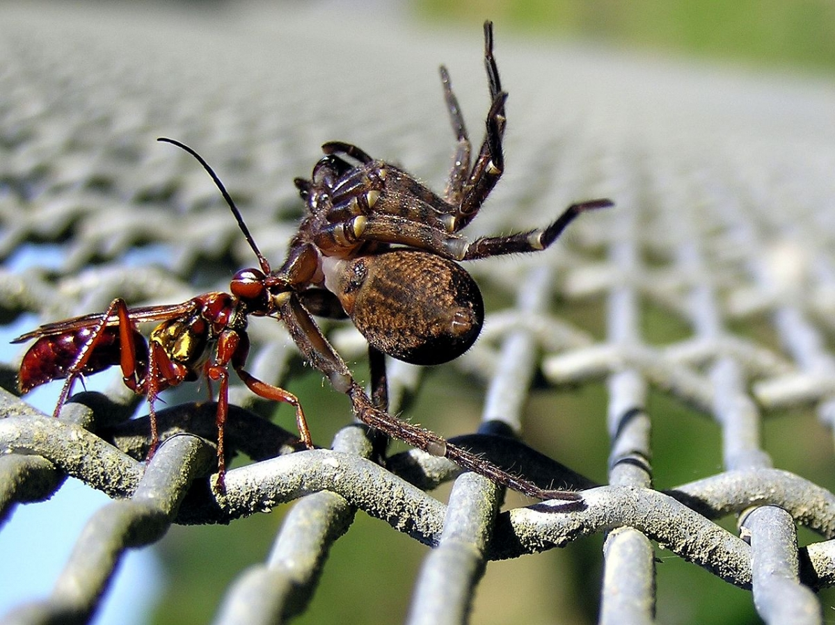 Spider hunting wasp