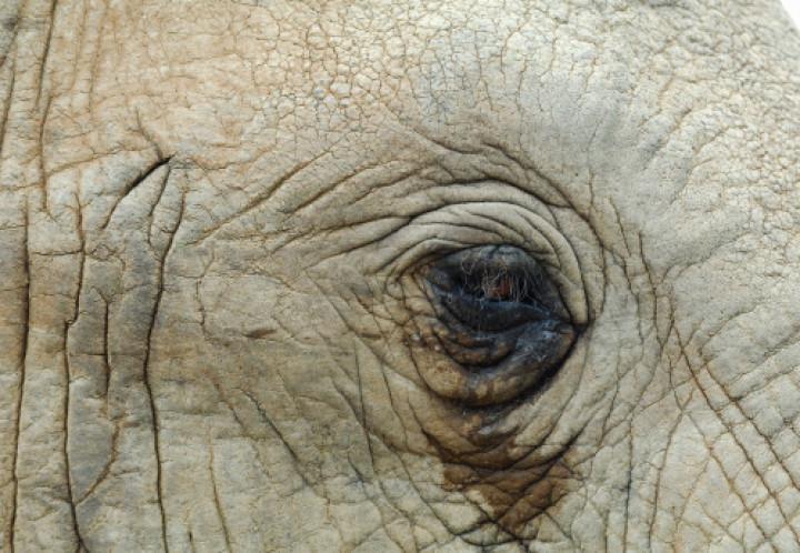 elephant cries