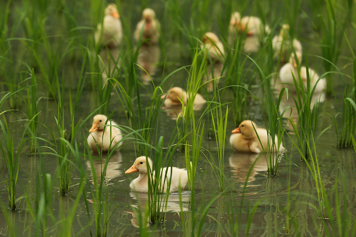 ducklings rice