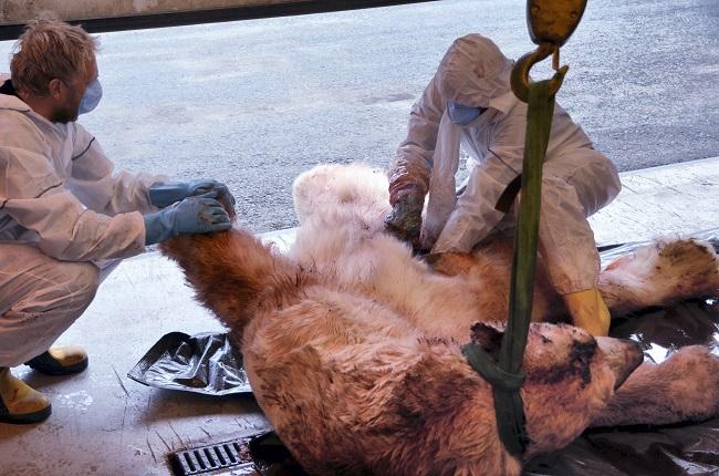 polar bear killed teen