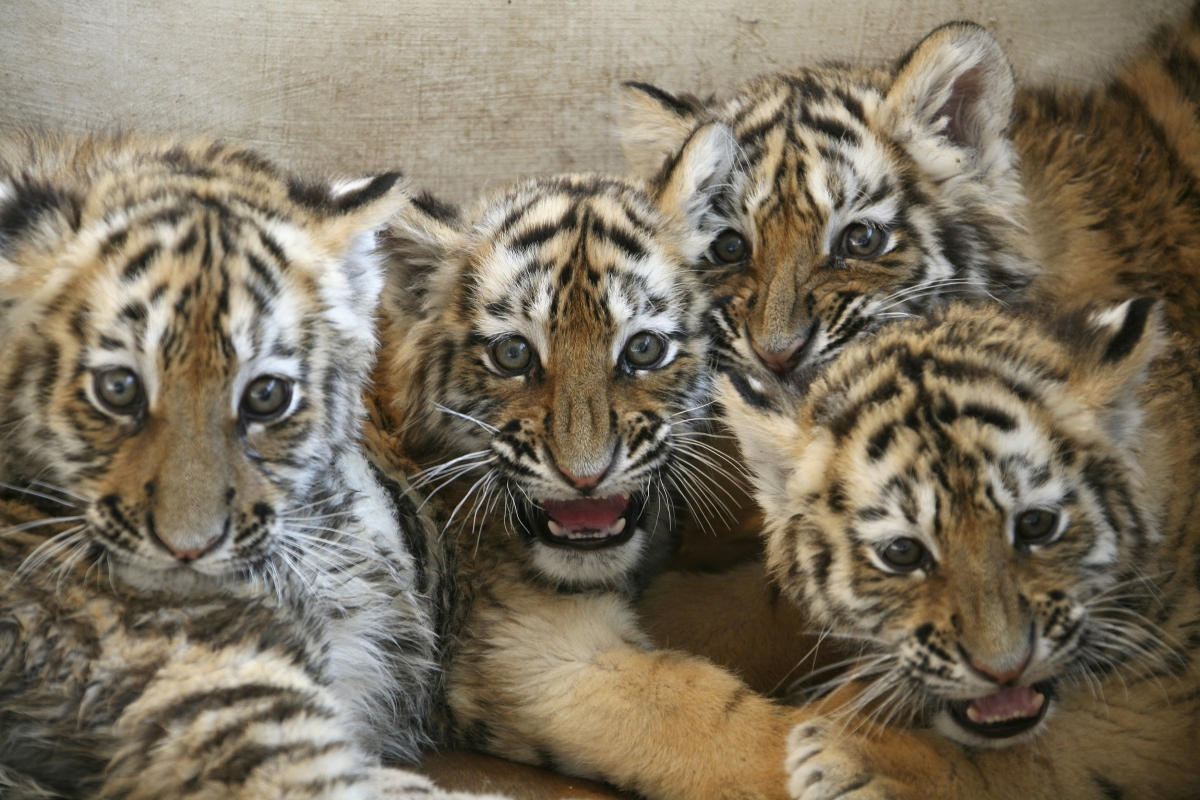 China Admits Allowing Captive Tiger Skin Trade For First Time
