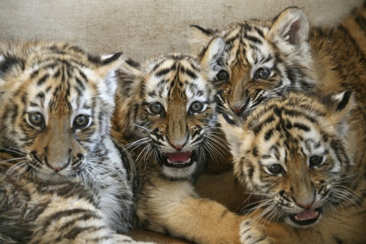 Tiger Skin Trade China