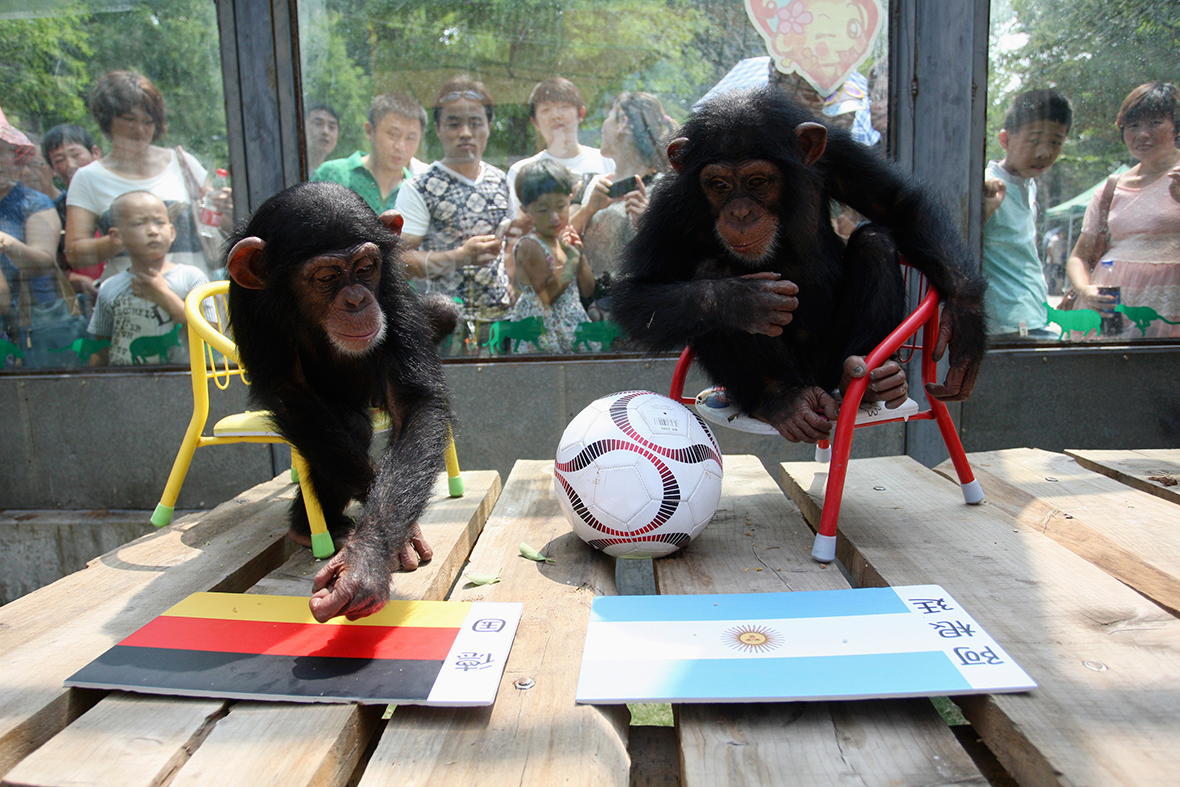 world cup chimps