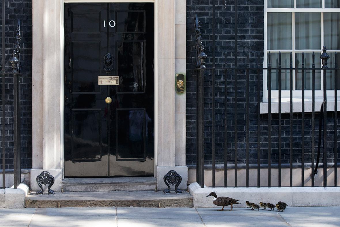 downing street ducks