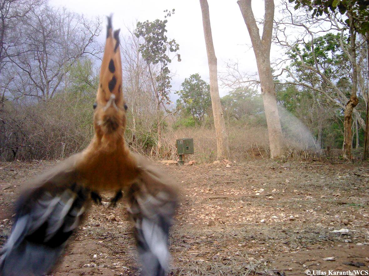 animal trap hoopoe