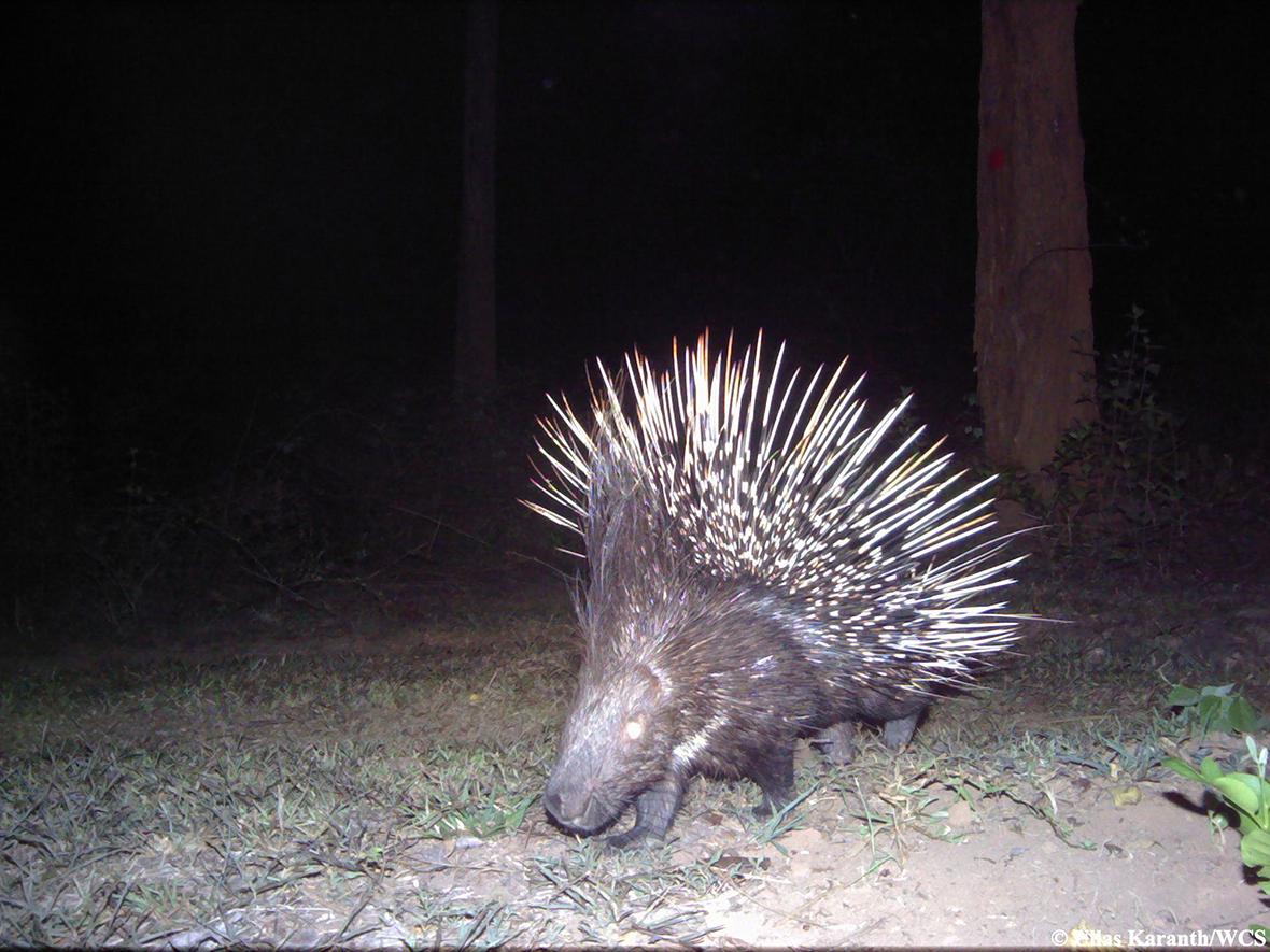 animal trap porcupine