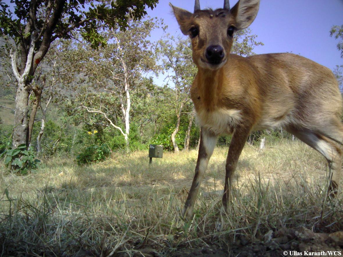 camera trap antelope