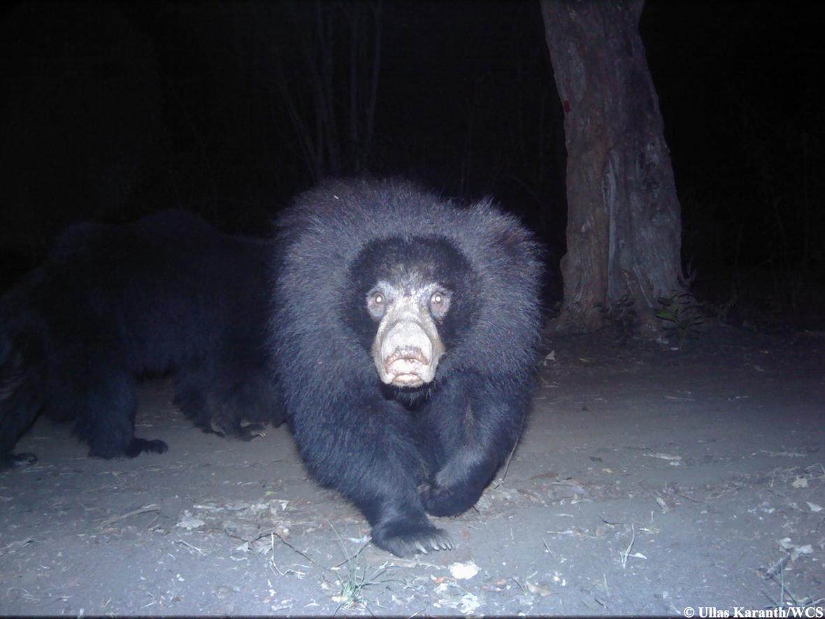 camera trap bear