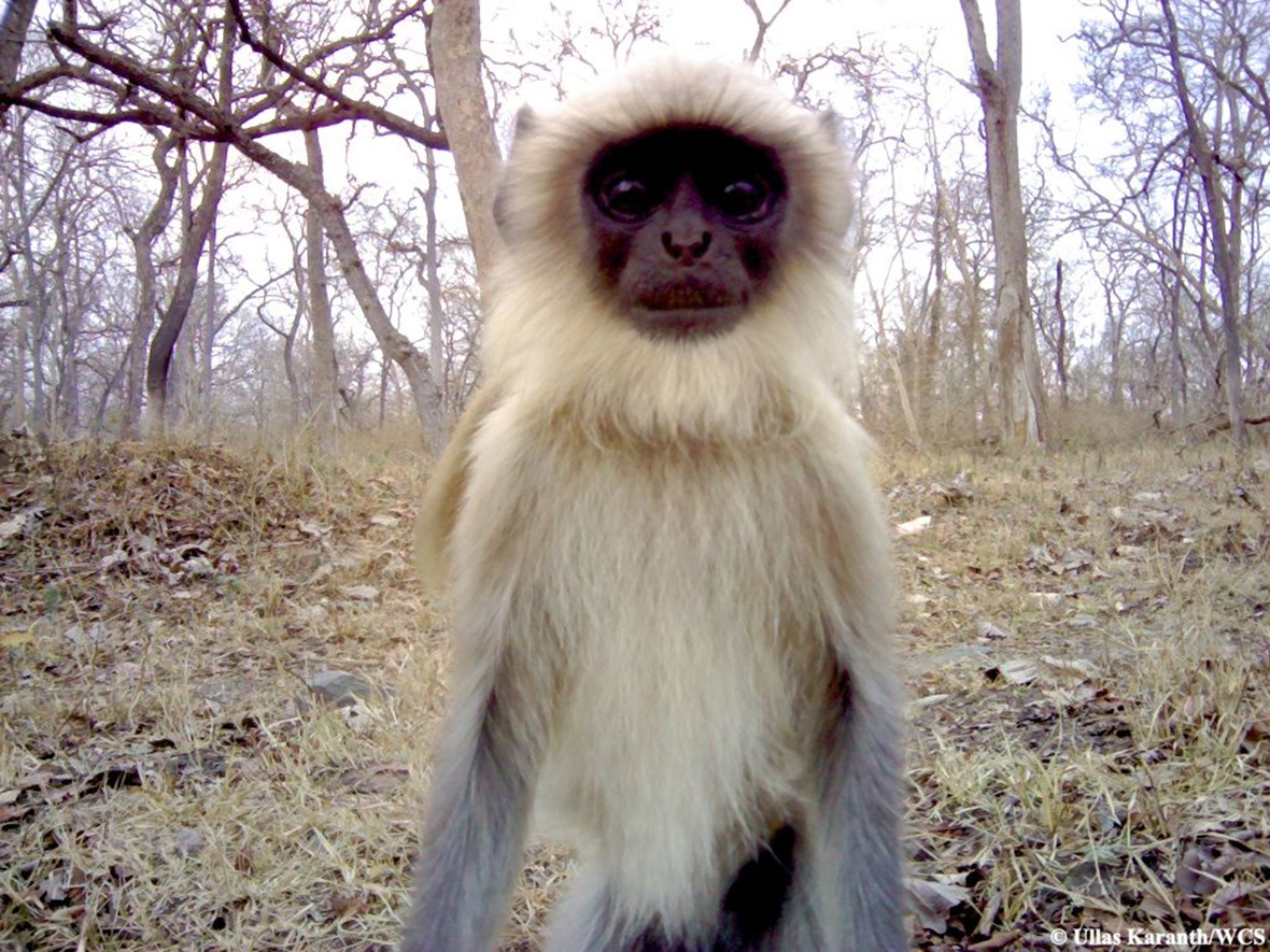 animal trap langur