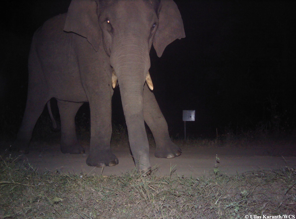 animal trap elephant