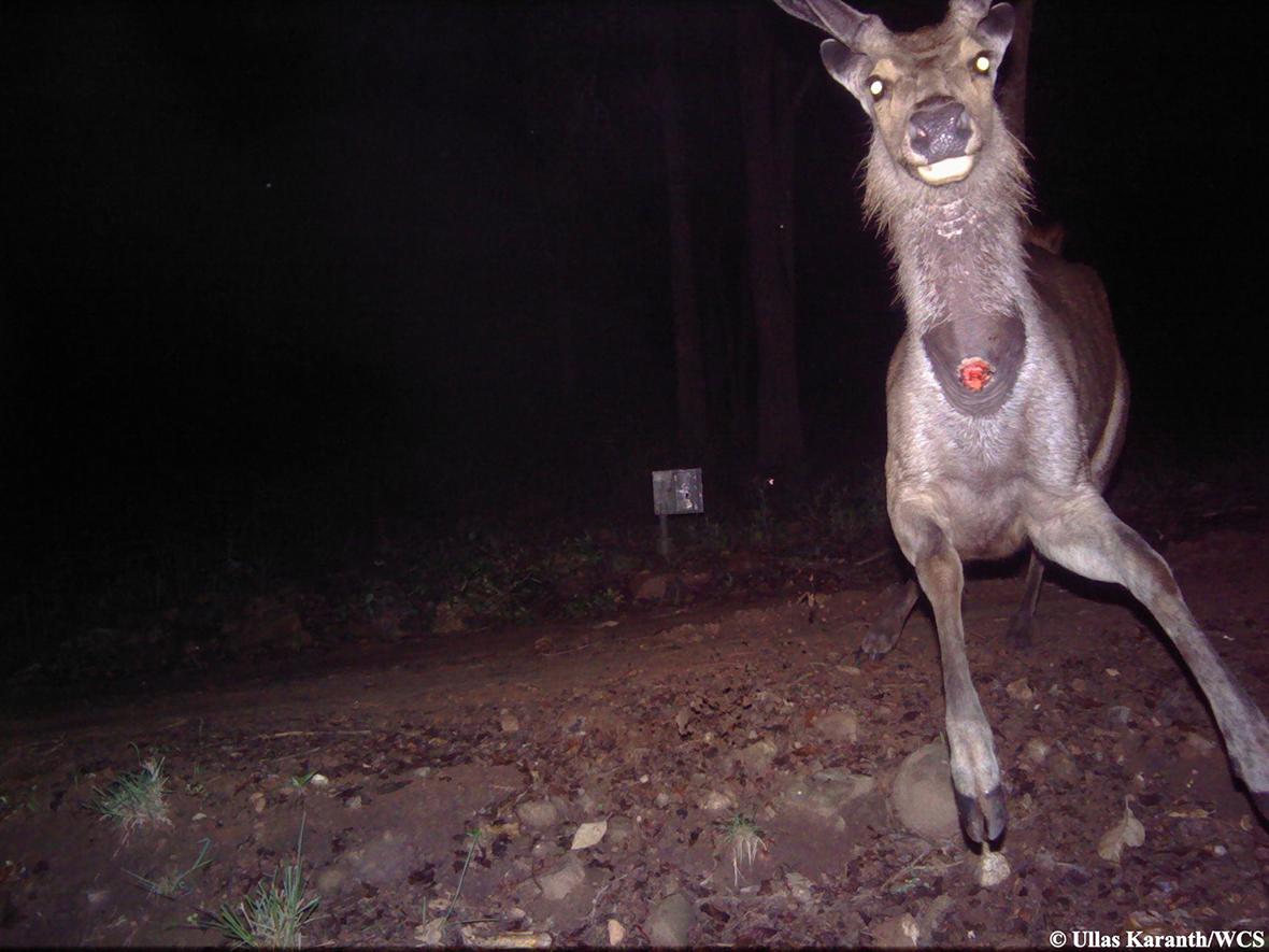 camera trap sambar