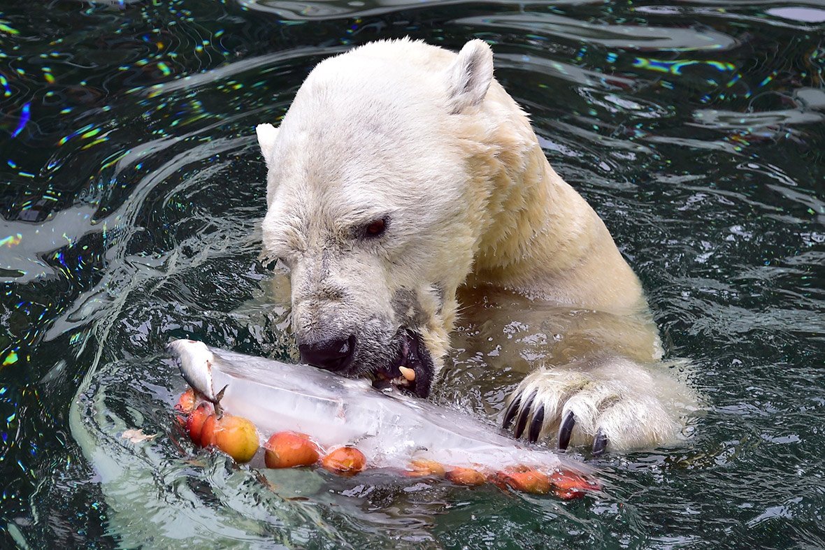 heatwave polar bear