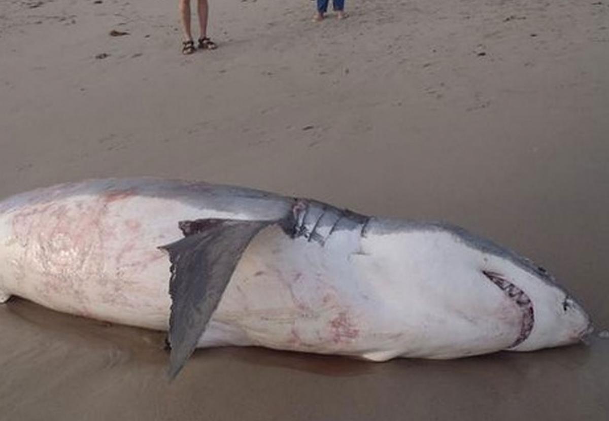 shark chokes on sea lion