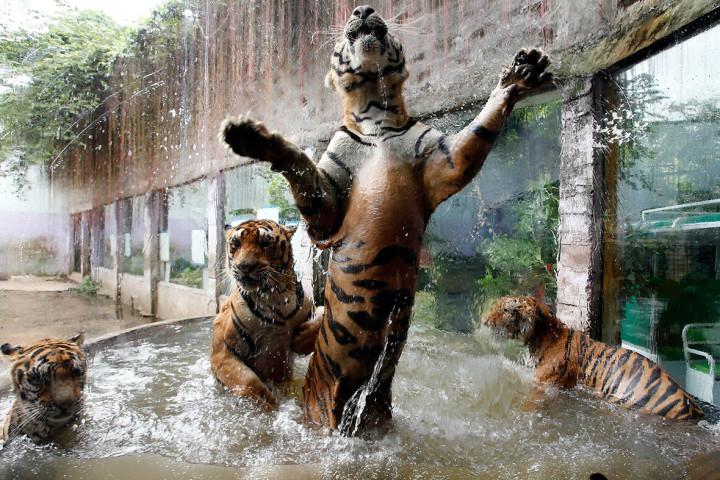 bengal tiger cubs