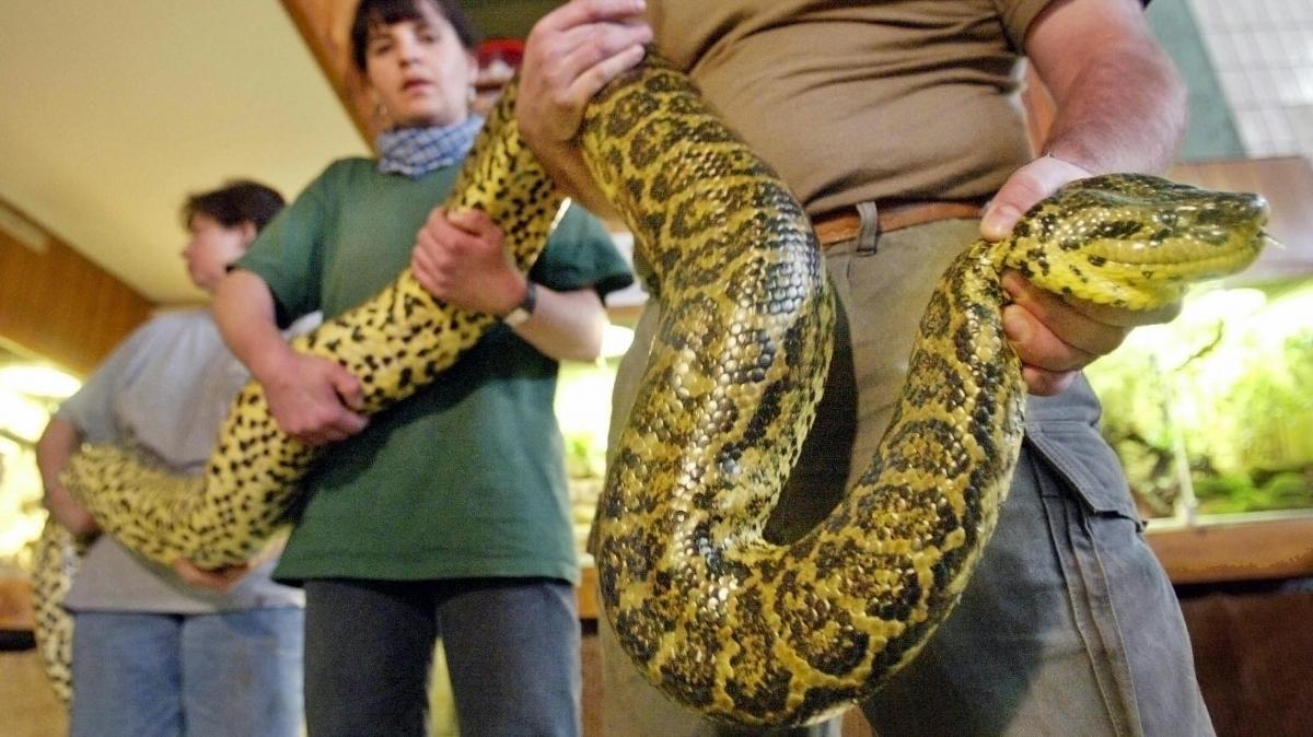 Green anacondas can reach lengths of 29 feet. (Getty)
