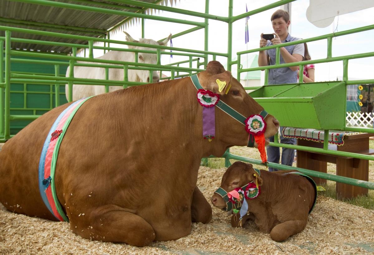cow Belarus