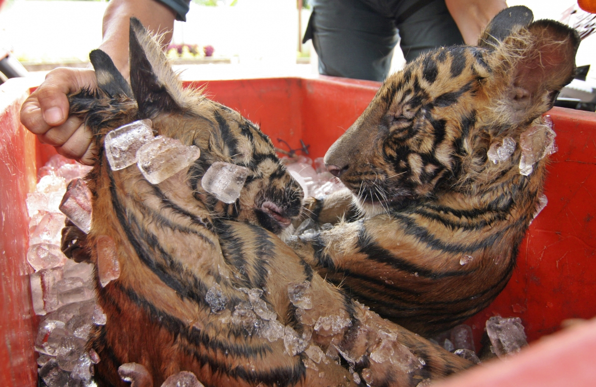 International Tiger Day 2014 10 Facts About Iconic Big