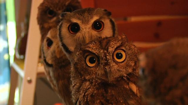 Bird Fans Flock to Japan Owl Café