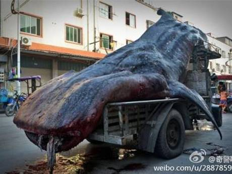 The Chinese fisherman claimed not to know the Whale Shark is an endangered species - but was taking it to market.