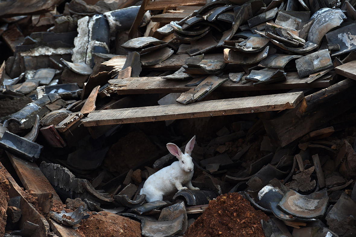 china earthquake rabbit