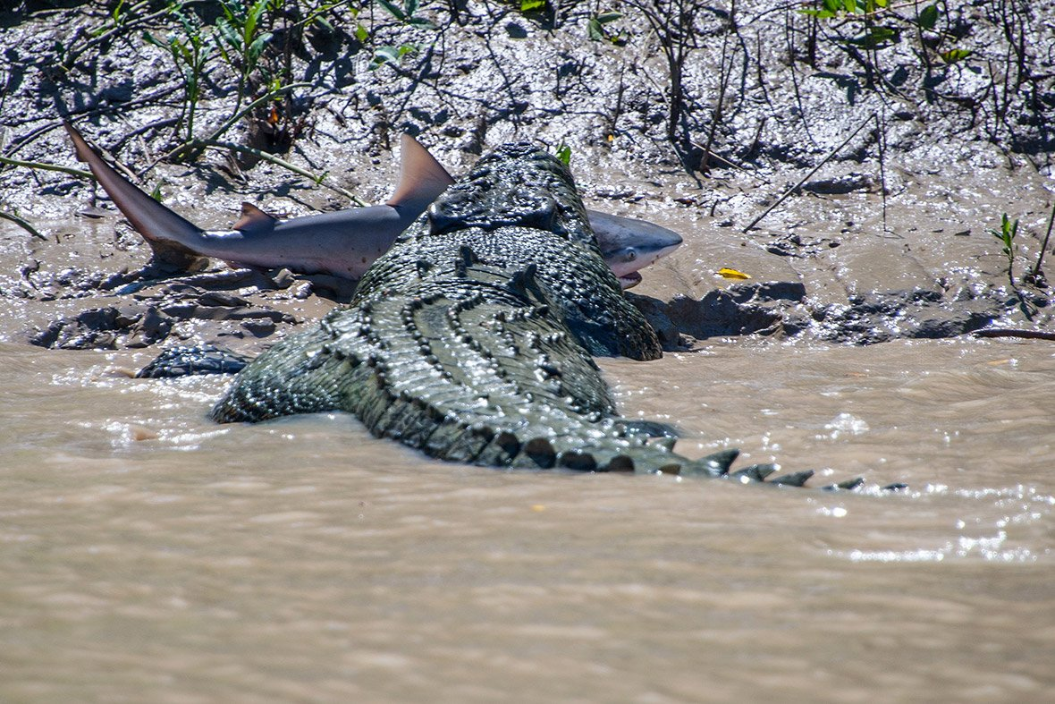 crocodile shark